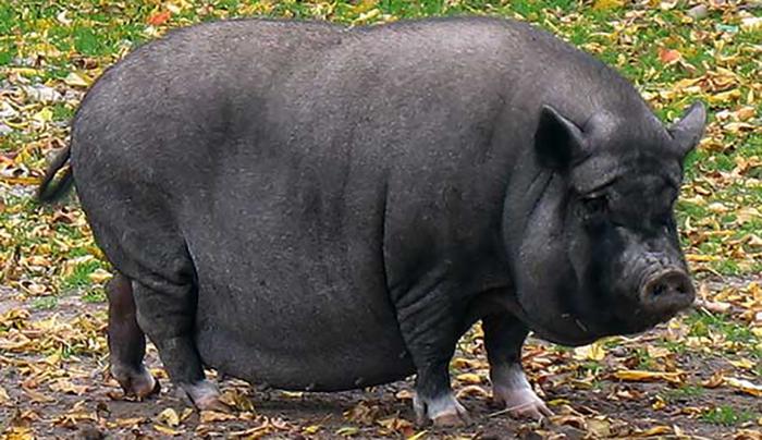 Особенности породы свиней