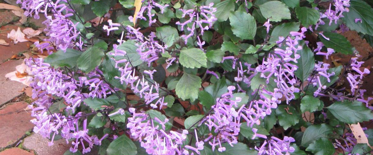 Растение похожее на мяту но не мята — О цветах