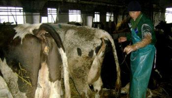 Понос у коровы
