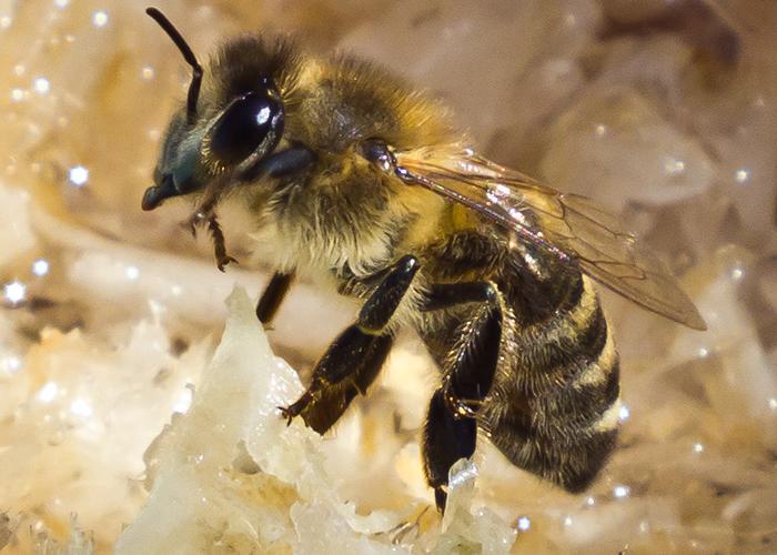 Порода пчел Карника