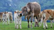 Предложен способ уменьшения метановых выбросов от коров