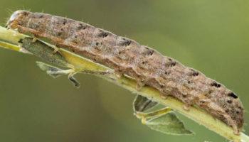 Растения защищаются от насекомых с помощью синдрома протекающего кишечника