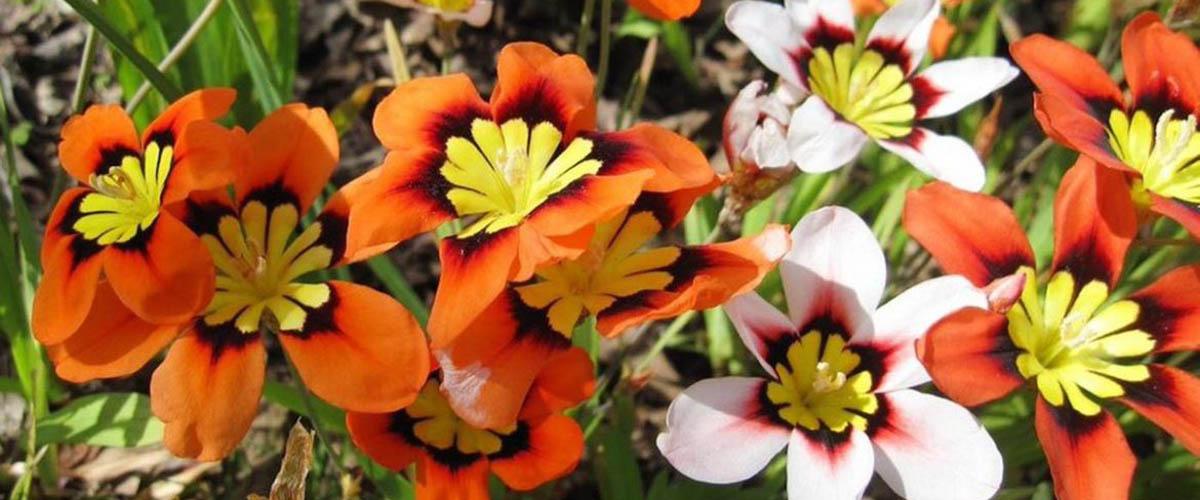 Спараксис: выращивание и уход в открытом грунте