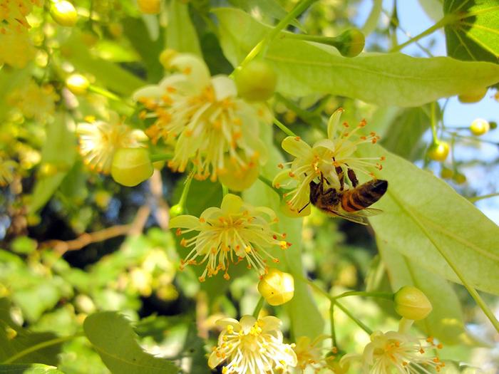 Среднерусская порода пчел