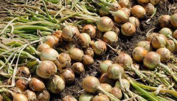 Сроки и правила уборки урожая лука в 2019 году