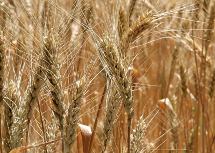 В Крыму зерно научат экономить воду