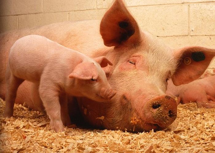 В Нижегородской области число свиней увеличилось на 55%