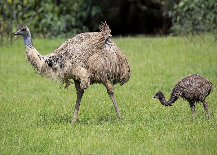 В России косметику и парфюмерию будут производить из жира чёрных африканских страусов