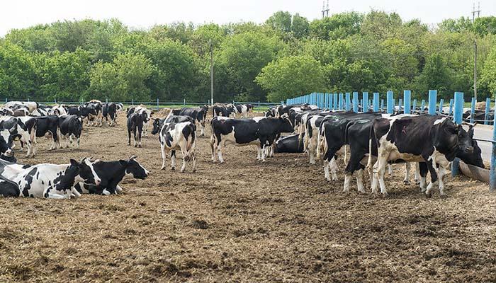 В Свердловской области к 2021 году появится новая молочная ферма