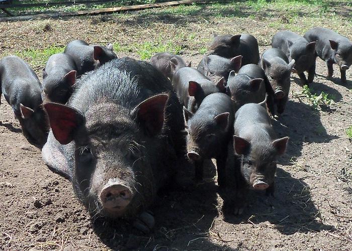 Вьетнамские вислобрюхие свиньи содержание и уход