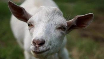 Вздутие живота у козленка что делать?