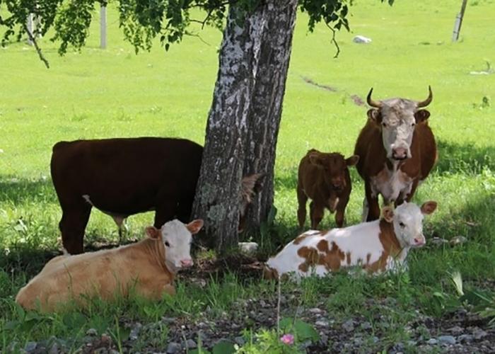 Жителя села под Севастополем убила корова