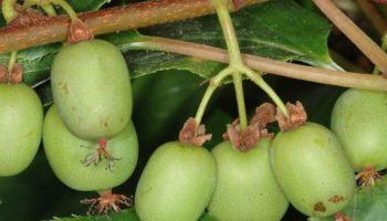 Актинидия: выращивание и уход