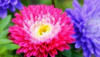 Астры — звезды в вашем саду