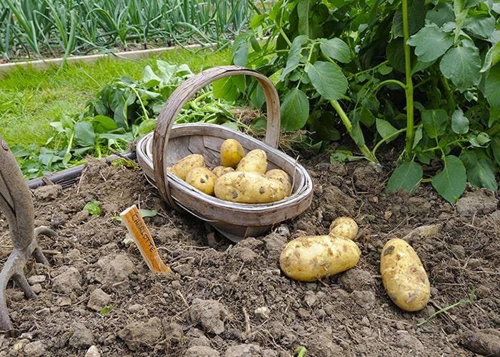 Благоприятные сроки уборки картофеля в августе-сентябре 2019 года