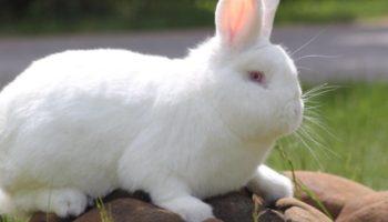 Бройлерные породы кроликов