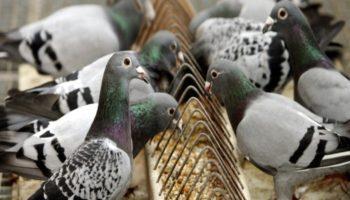 Что едят голуби