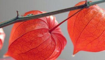 Физалис: как выращивать растение из семян