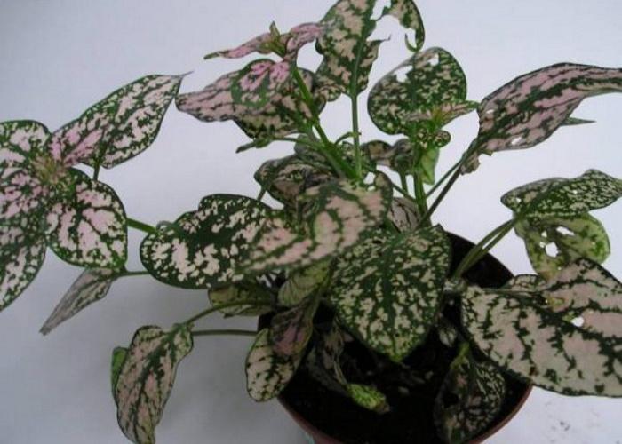 Гипоэстес: ботаническое описание