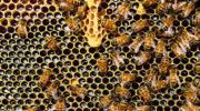 Исход пчел. Нужно ли закупаться медом, пока он есть