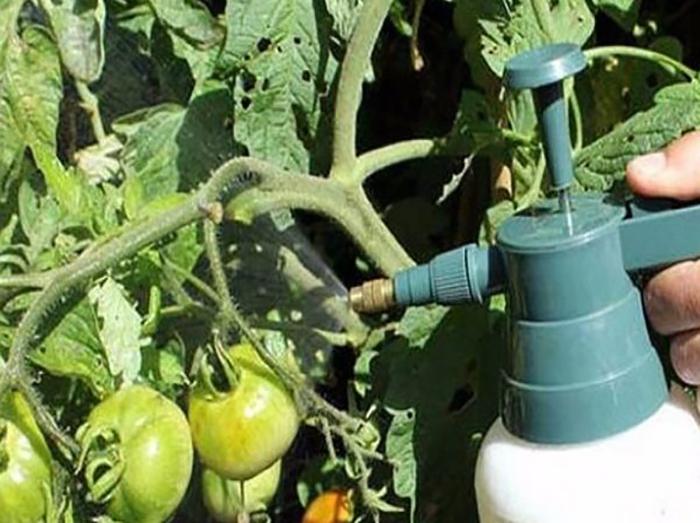 Как спасти помидоры от фитофторы: порядок действий