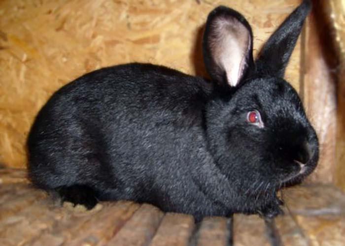 Кролик породы «Аляска»