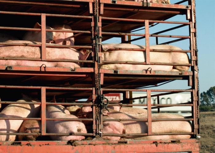 Массовая гибель свиней произошла в селе Сединкино Заводоуковского района