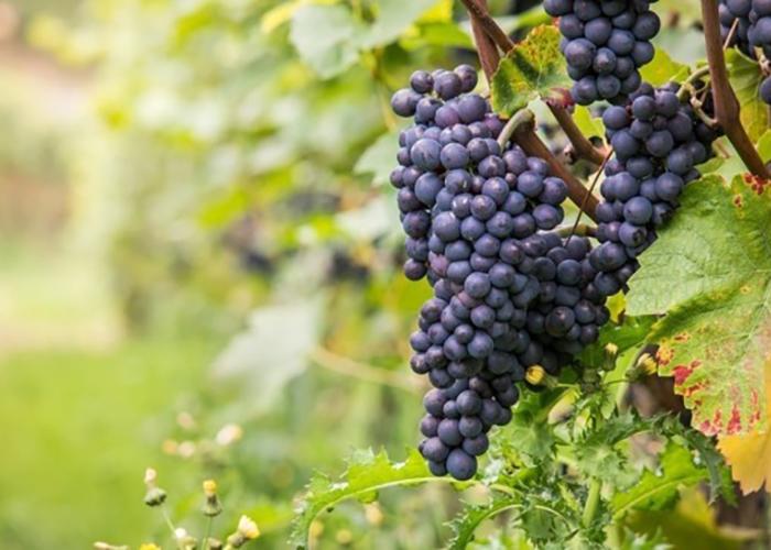 Новая Зеландия намерена перенять опыт Кубани в сфере виноделия