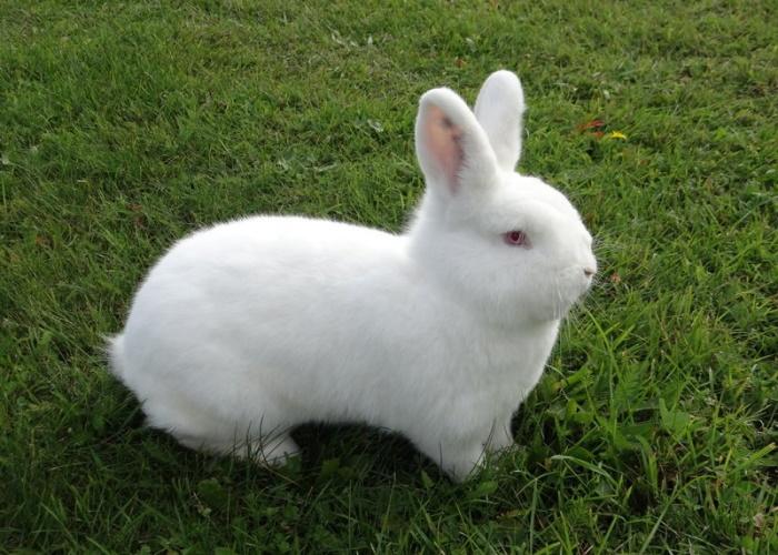 Новозеландский белый кроль