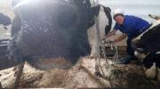 Почему в Зауралье стало невыгодно держать коров на личных подворьях