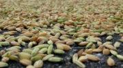 Правительство утвердило Стратегию развития зернового комплекса до 2035 года