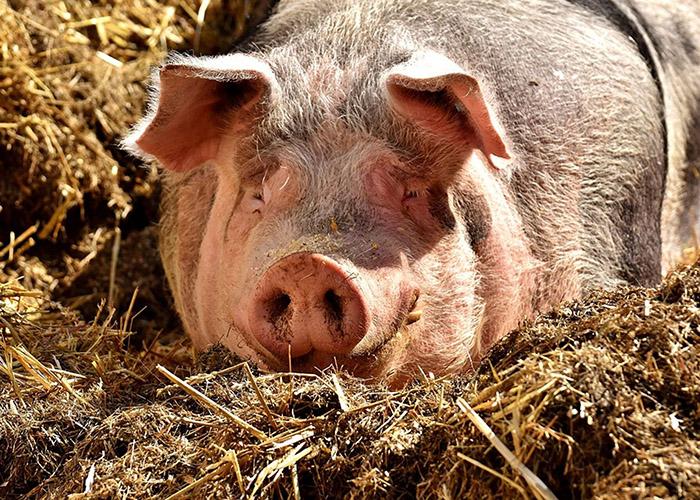 Россельхознадзор предупредил о риске заноса африканской чумы свиней из Китая