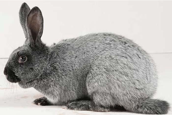Серебро порода кроликов