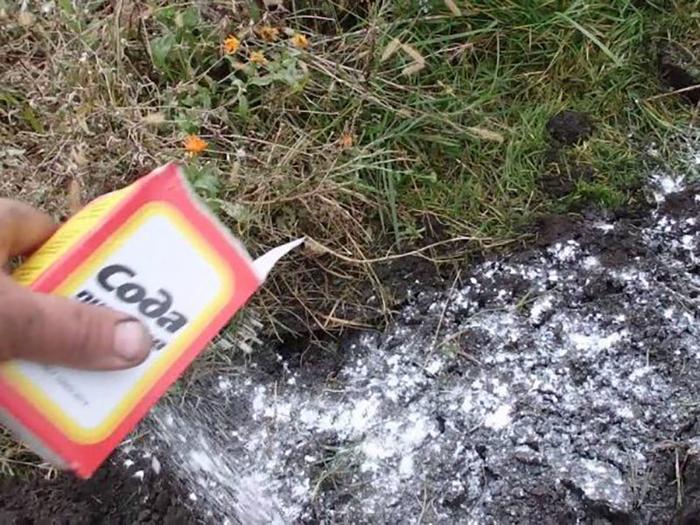 Сода в огороде против вредителей