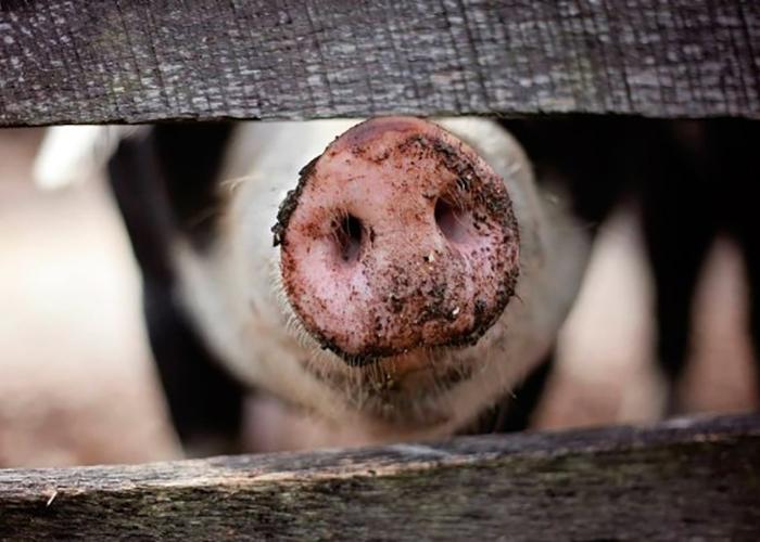 Цены на свинину в России должны снизиться