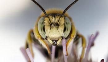 Ученые рассмотрели взаимоотношения пчел и бактерий
