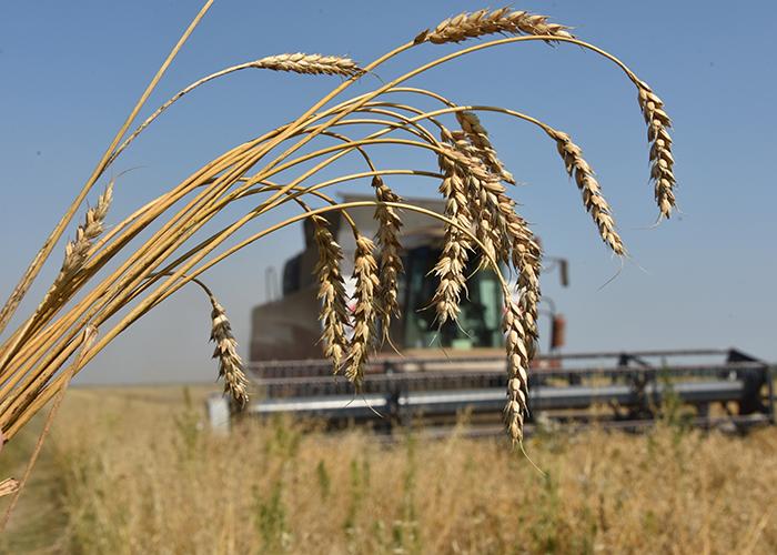 В Крыму собран рекордный урожай зерновых