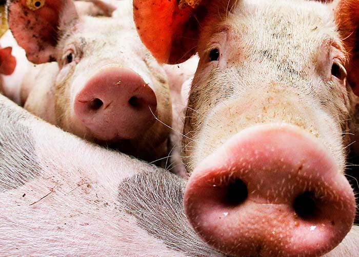 В Тюменской области на ферме от удара током погибло около тысячи свиней