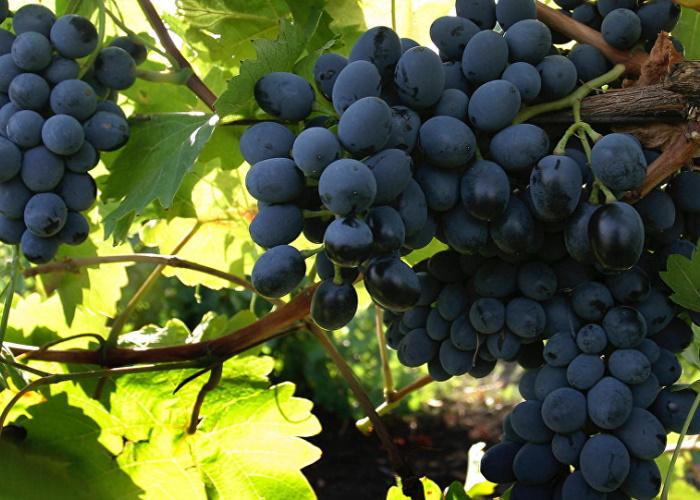 «Абрау-Дюрсо» вложит 1 млрд руб. в расширение виноградников