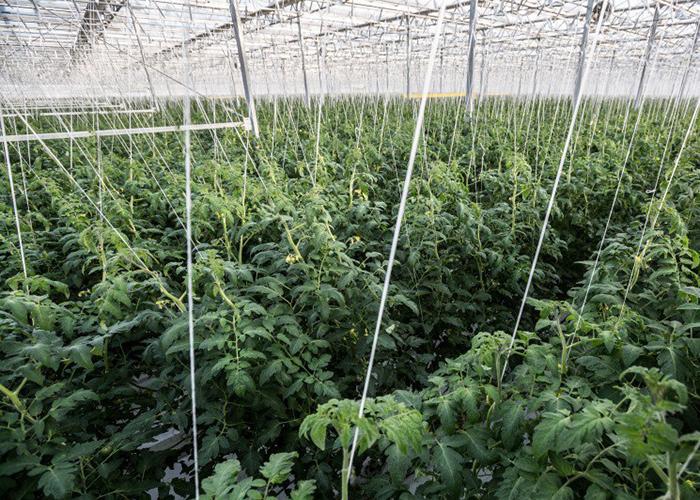 «Эко-Культура» запустила еще 30 гектаров теплиц на Ставрополье