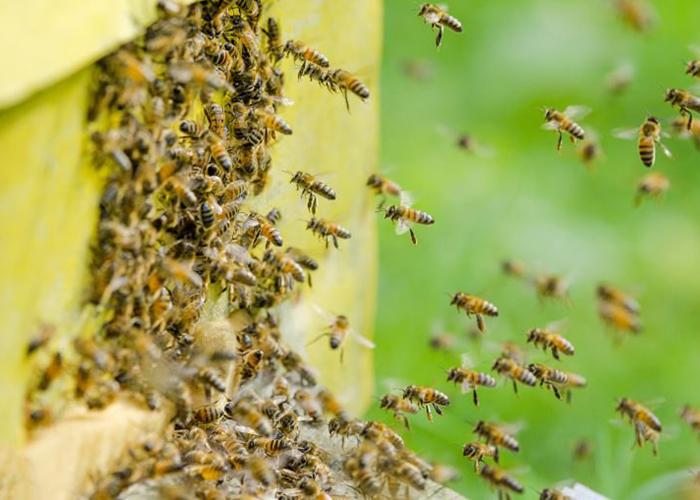 Пчелы начинают заменять фермерам пестициды