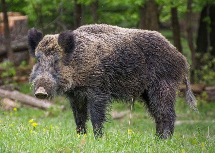Африканская чума свиней подобралась к границам Ленобласти
