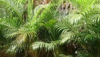 Арека или бетель, выращивание и уход