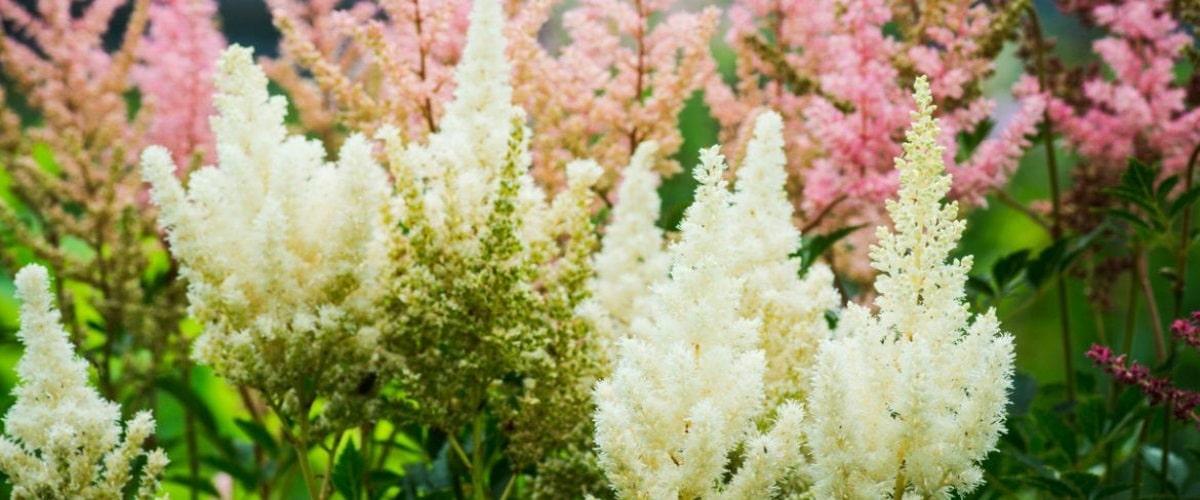 Астильба описание сортов и правила выращивания растения