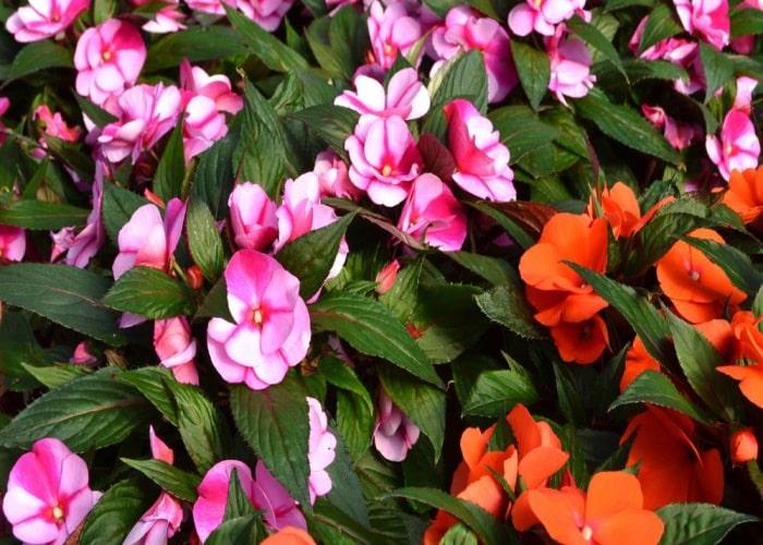 Бальзамин садовый цветок недотрога виды растения, правила выращивания и ухода