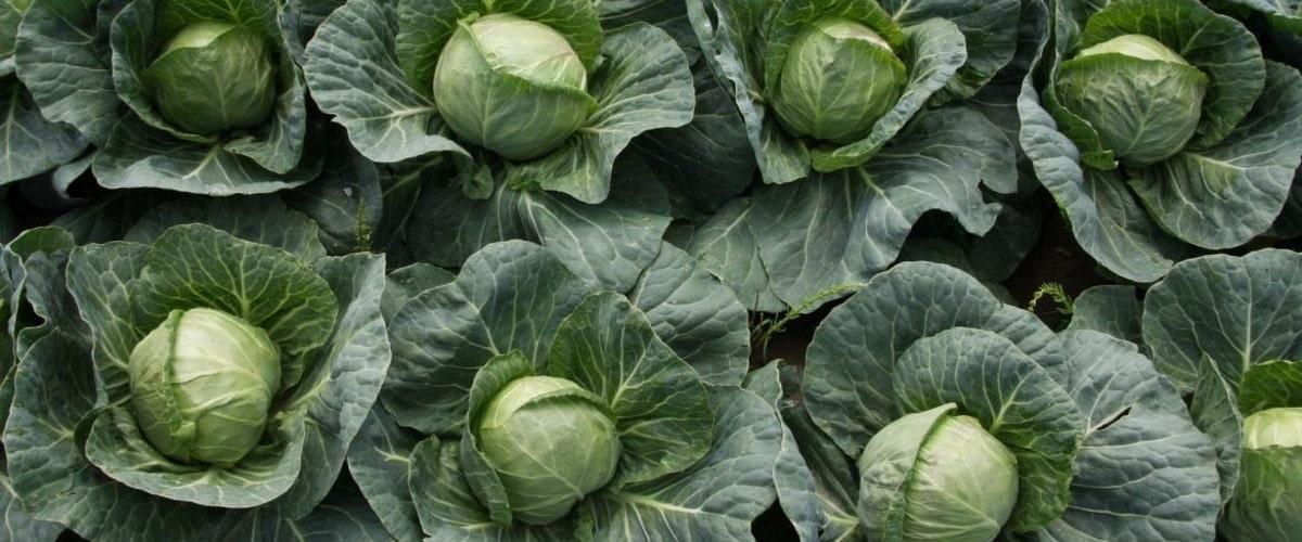 Белокочанная капуста выращивание и уход