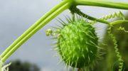 Бешеный огурец: виды посадки и уход за растением