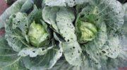 Блошка на капусте. Как защитить капусту от блошки: народные и химические средства