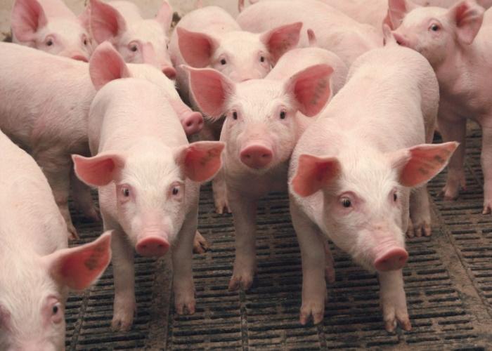 Более 400 свиней уничтожено в Нижегородской области из-за АЧС