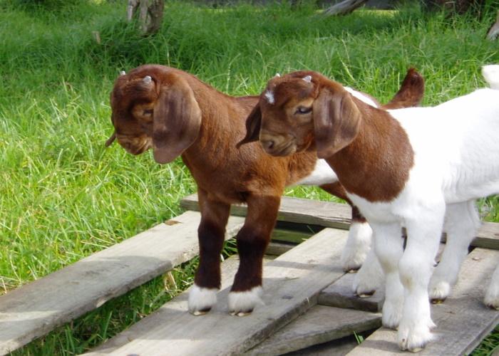 Бурская коза